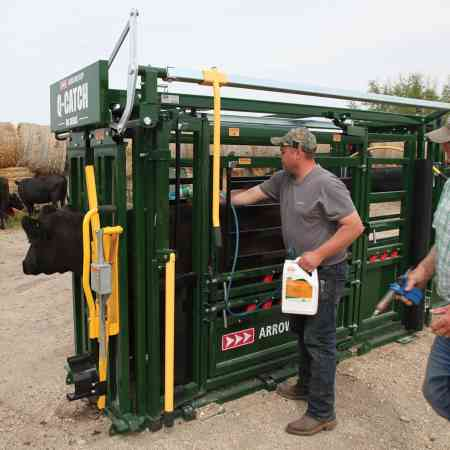 cattle drenching in Q-Catch 86 Series Cattle Chute
