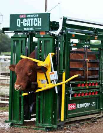 Taureau de taille adulte à l'intérieur de la cage de contention pour bovins de la série Q-Catch 86