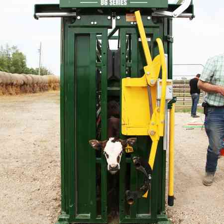Front view of calf in Q Catch 86 series cattle crush closed yoke gate by Arrowquip