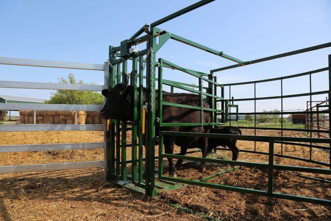 Calving Pen Open Access Calf Cow2