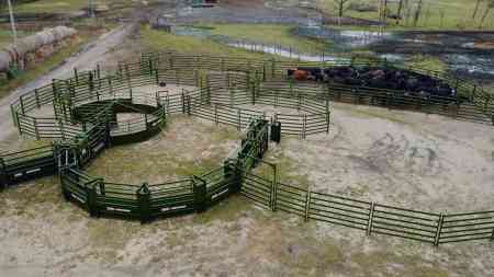 Cattle handling system side image with all cattle in one pen