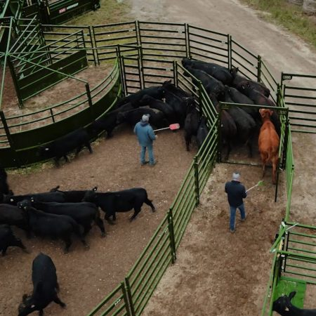 Moving cattle through cattle working system for processing