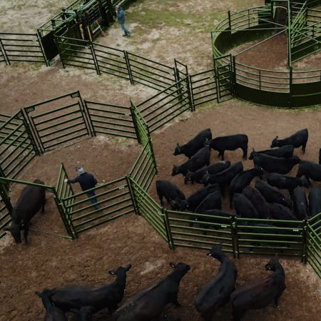 Cattle entering Draft Pound to be sorted into different pens