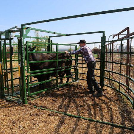 Squeezing Cow Calf