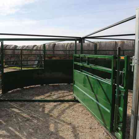 View of Cattle Entering Forcing Pen