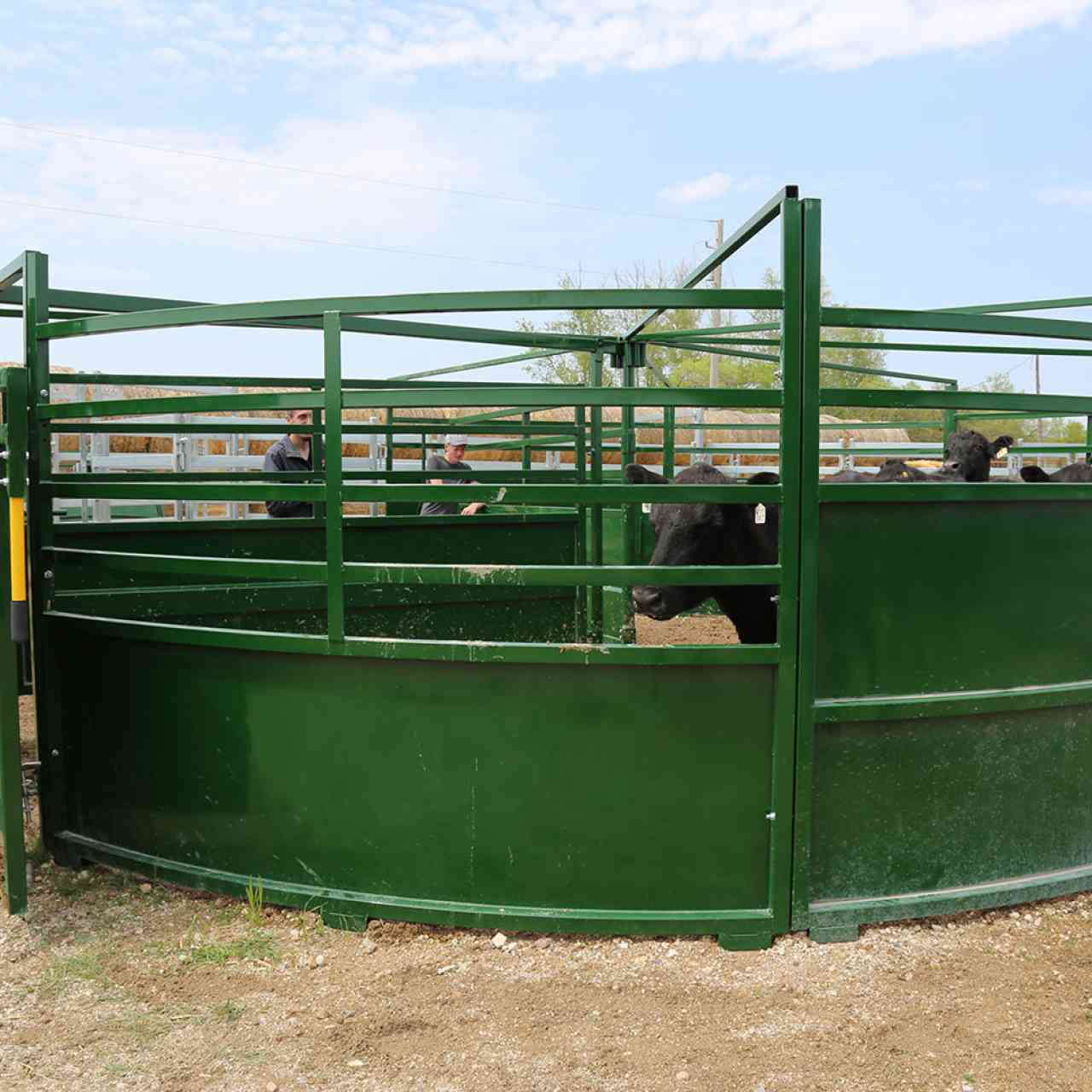 Cattle looking out of low sheeted panel on BudFlow Cattle tub