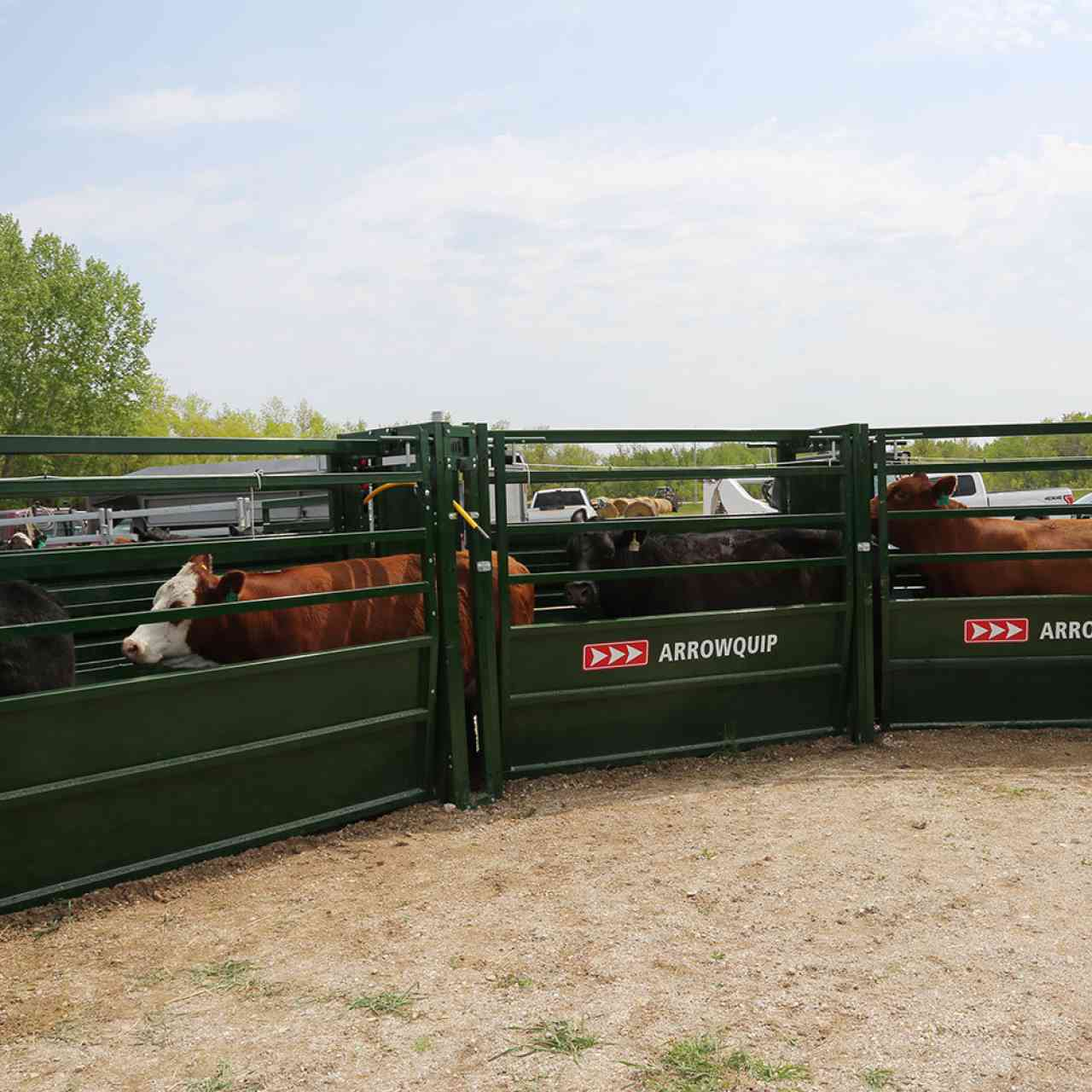 180 degree curved adjustable cattle alley with cattle walking through