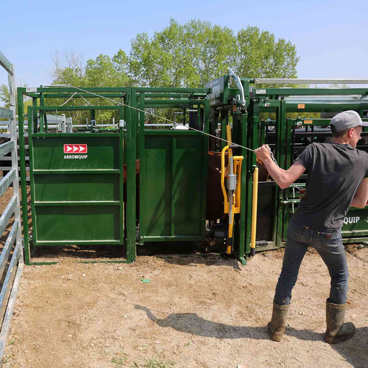 Young rancher using post-chute cattle drafting gates
