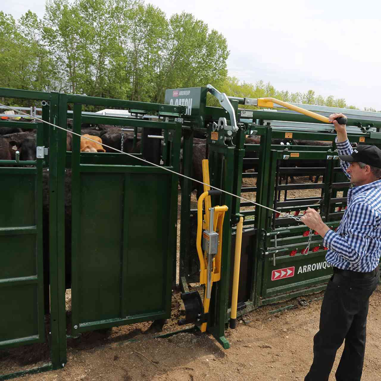 Rancher sorting livestock with post-chute cattle drafting gates