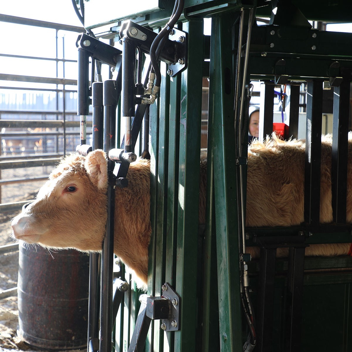 Cow with neck stretched with neck extenders on The General hydraulic chute