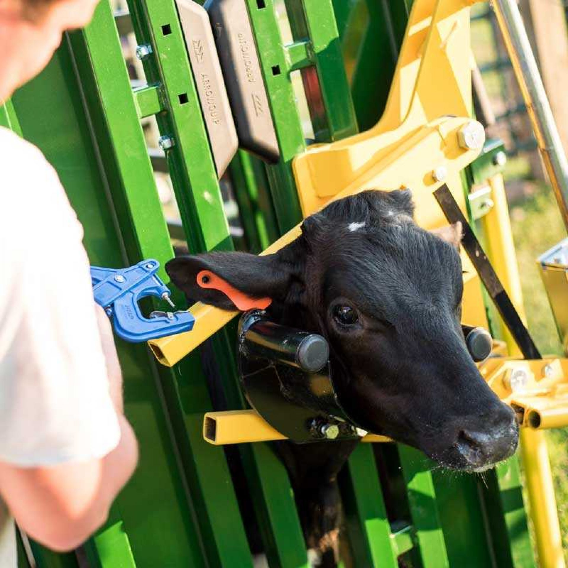 Black calf being ear tagged in Q-Catch Cattle Head Holder