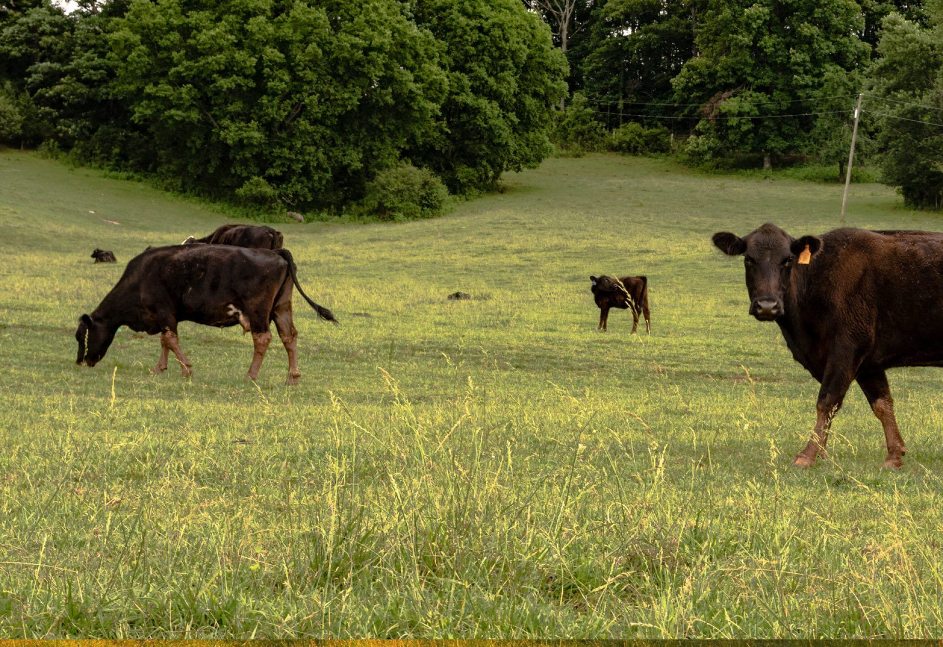 brown cows grazing pasture