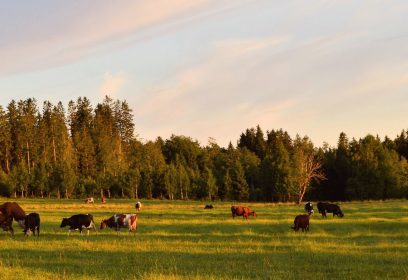 Group of beef cattle grazing in pasture